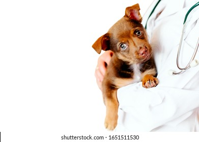 Veterinarian examining a cute dogthe veterinarian holds a puppy in his arms, the dog at the vet