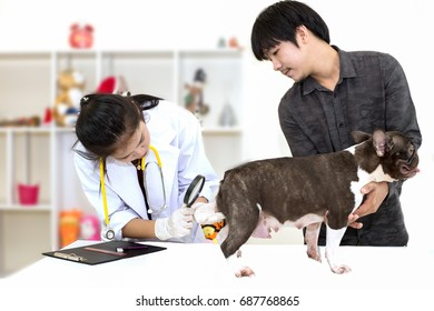 Veterinarian examining a Cute little pedigree french bulldog puppy lying on table in animal hospital with dog's owner