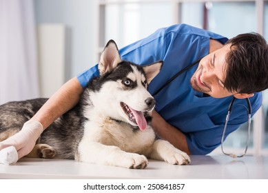 Veterinarian is examining a cute siberian husky at hospital.