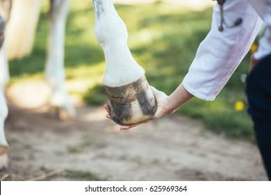 Veterinarian examining horse leg tendons. Selective focus on hoof.