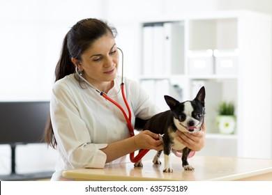 Veterinarian female doctor and Chihuahua dog at vet ambulance