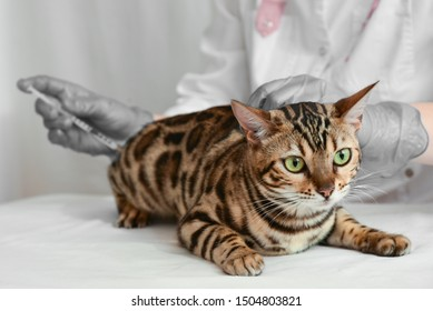 Veterinarian giving injection to bengal cat. Beautiful green-eyed cat receives treatment.