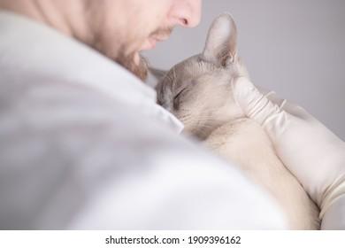 Veterinarian is holding a Burmese cat.
