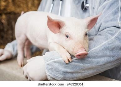 Veterinarian holding a pig.