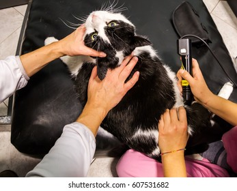 Veterinarian laser therapy to a cat with arthrosis pain