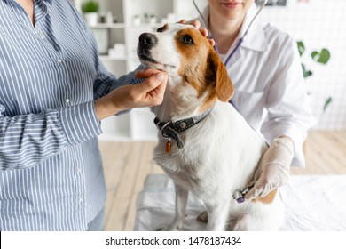 The veterinarian listens to the dog with a stethoscope.