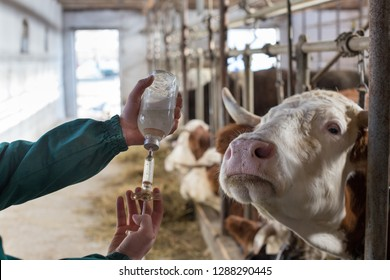 Veterinarian preparing injection for cows in stable on farm. Health care in agriculture industry