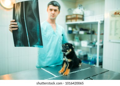 Veterinarian specialist looks at x-ray of the dog