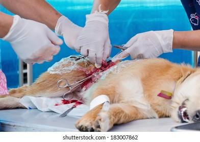 veterinarian sterilization operation on dog,