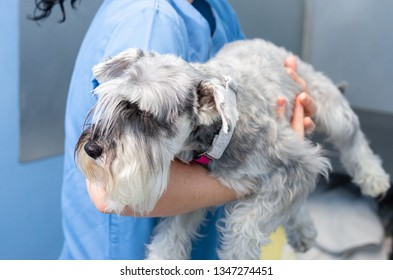 Veterinarian transports carefully a miniature schnauzer an arms before the veterinary consultation