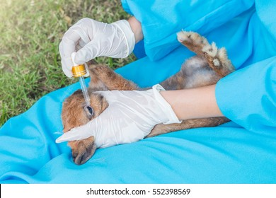 The veterinarian using eye drops for treatment a rabbit