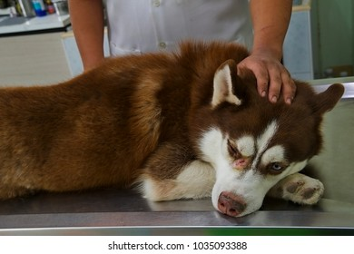 veterinarian or vet animal doctor treating a husky in hospital