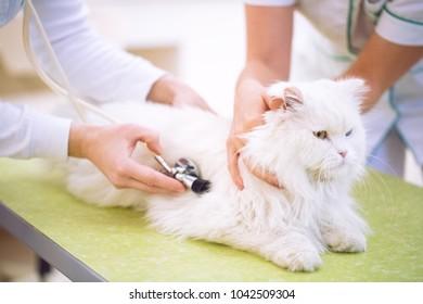 Veterinarian at vet clinic check up cat health at pet ambulance
