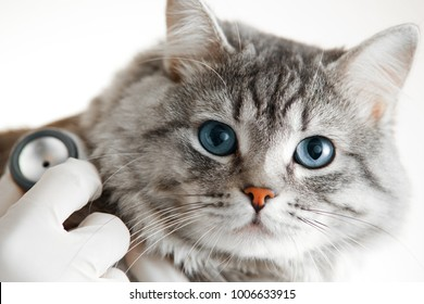 Veterinarian at vet clinic are examining cute grey cat with blue eyes with stethoscope. Medicine, pet, animals and people concept.