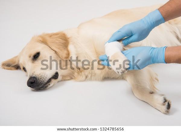 Veterinarians Hands Check Paw Dog Golden Stock Photo (Edit Now
