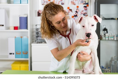 Veterinary by listening to a Dogo Argentino dog in his clinic