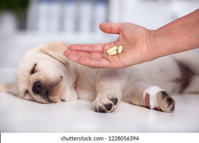 Veterinary care professional hand with medication for a cute labrador puppy dog - vermicide medicine before vaccine