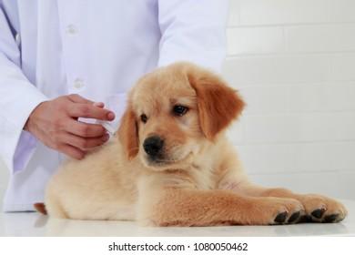veterinary check puppy
