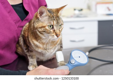 Veterinary doctor checking blood pressure of a cat