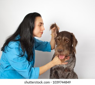 Veterinary doctor examines the ear of a dog breed german wirehaired pointer drathaar