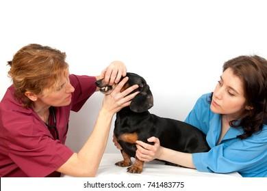Veterinary doctor and a veterinary nurse examining dachshund dog teeth