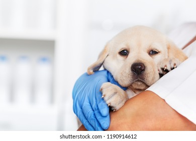Veterinary healthcare professional holding a cute labrador puppy dog - closeup