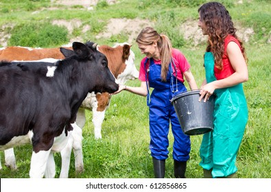 Veterinary on a farm performing a physical examination in a cow