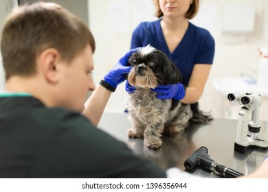 A veterinary ophthalmologist makes a medical procedure, examines the eyes of a dog with an injured eye and an assisent helps her to hold her head. A veterinarian makes biomicroscopy using a slit lamp.