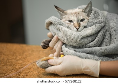 Veterinary placing a catheter via a cat in the clinic