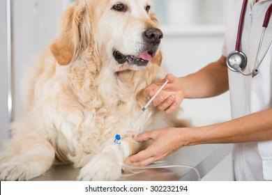 Veterinary placing a catheter via a Golden Retriever in the clinic
