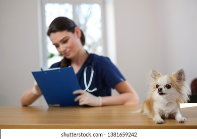 Veterinary surgeon and chihuahua dog at vet clinic