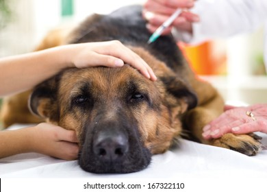 veterinary surgeon is giving the vaccine to the dog German Shepherd,fokus on injection