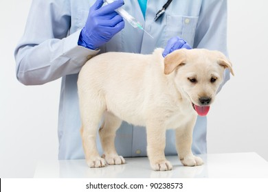 The veterinary surgeon is giving the vaccine to the labrador puppy