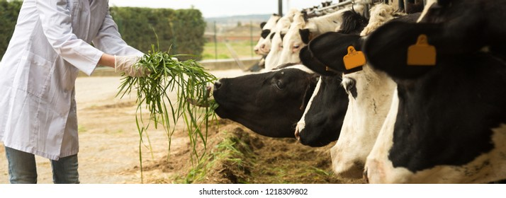 veterinary technician working with cows in livestock farm. focus on grass