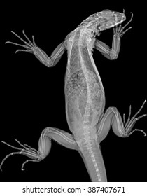 Veterinary x-ray - green iguana (Iguana iguana)