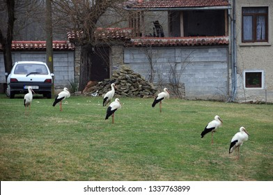 VETRINTSI VILLAGE, BULGARIA - MARCH 13, 2019: Group of white storks rest after a long flight from Africa