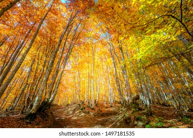 Vibrant Autumn scene in the forest with colorful leaves on tall trees, autumnal landscape