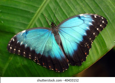 Vibrant blue butterfly -Morpho Peleides-on green leaf