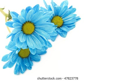 Vibrant blue daisies on a high key horizontal white background, with lots of copy space