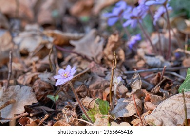 Vibrant blue flowers of Hepatica transsilvanica or large blue hepatica.