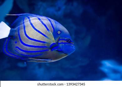 Vibrant blue striped angel fish