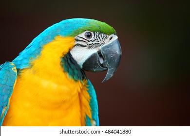 Vibrant Blue-and-yellow macaw, Ara ararauna, portrait of colorful, big parrot, close up pet bird.