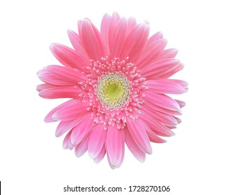 Vibrant bright pink gerbera daisy flowers blooming isolated on white background with clipping path.