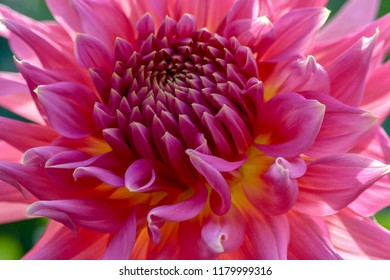 Vibrant bright pink, yellow Dahlia, macro, extreme closeup