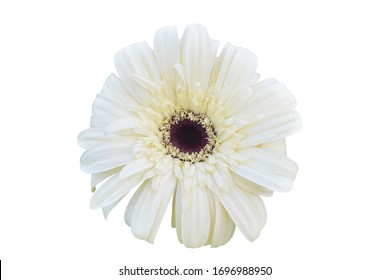 Vibrant bright white gerbera daisy flowers blooming isolated on white background with clipping path.