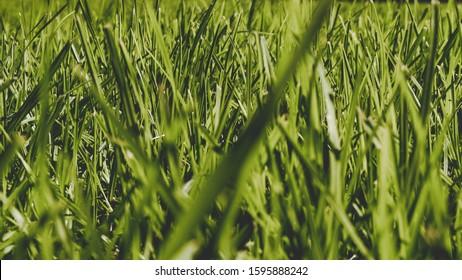 Vibrant Buffalo Grass Blades in Summer