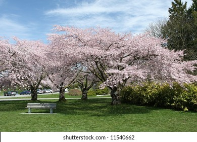 Vibrant Cherry Trees Blooming in Spring
