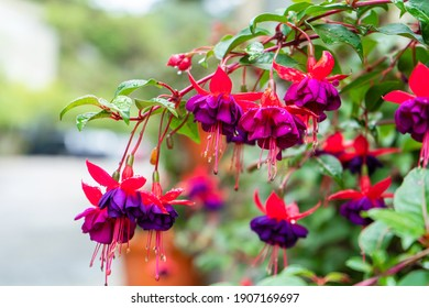 Vibrant color saturated fuchsia hybrida in a flower park.