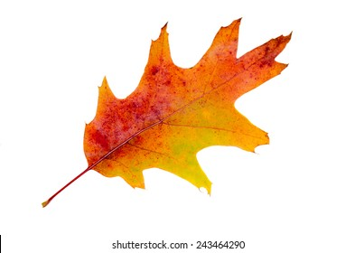 Vibrant colored autumn oak leave (leaf), branch, isolated, white background.