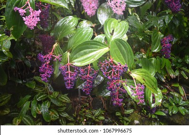 Vibrant Colorful Flowers with large leaves in Rain forest Botanical Gardens in Hilo Hawaii. Heavy foliage with budding flowers and moist leaves